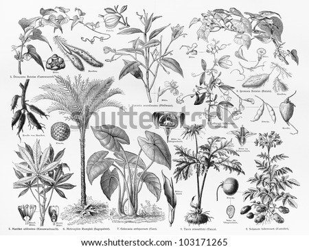 Vintage 19th century drawing representing various species of Food crops, Fruits and seeds - Picture from Meyers Lexikon book (written in German language) published in 1908 Leipzig - Germany.