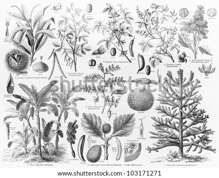 Vintage 19th century drawing representing various species of Oil bearing crops fruits and seeds - Picture from Meyers Lexikon book (written in German language) published in 1908 Leipzig - Germany.
