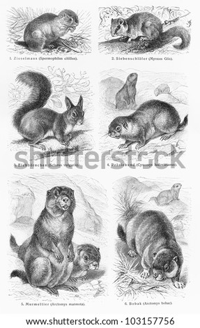 Vintage 19th century drawing representing various wild rodent animals species - Picture from Meyers Lexikon book (written in German language) published in 1908 Leipzig - Germany.