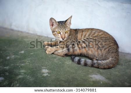 Vintage tone a portrait cats pet, Lazy cat resting on the floor soft focus, Cat Closeup