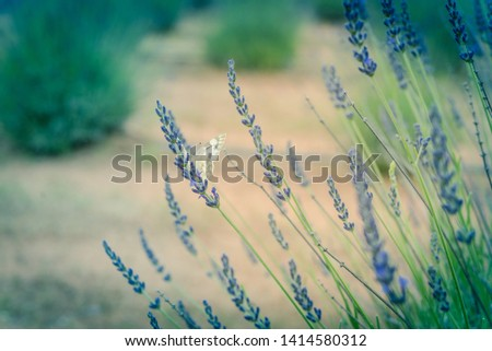 Lavender in full bloom on lavender farm  Images and Stock Photos