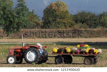 Vintage tractor with a trailer full of chrysanthemum pots and other autumn flowers. No people.