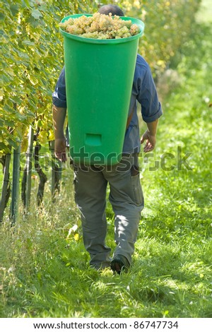 Vintner wearing butt full of grapes during the harvest