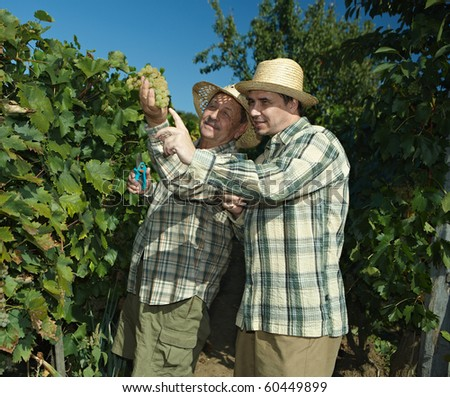 Vintners in french straw examining the grapes during the vintage.