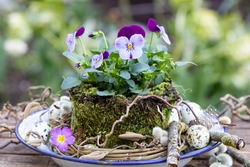 viola flower in purple wrapped in moss as spring garden decoration