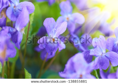 Viola flowers on the green sunny field