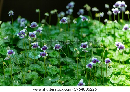 Viola hederacea commonly known as the Australian violet Сток-фото ©