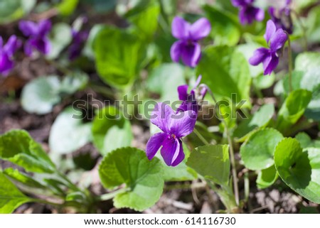 Viola odorata (Sweet Violet, English Violet, Common Violet, or Garden Violet) blooming in sunny day