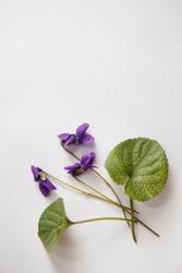 Viola odorata (Sweet Violet, English Violet, Common Violet, or Garden Violet) isolated on white