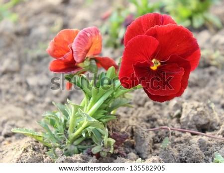 Viola tricolor - stock photo