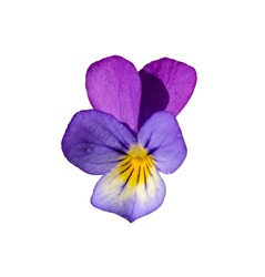 Viola tricolor, also known as Johnny Jump up, heartsease, heart's ease, heart's delight, tickle-my-fancy, Jack-jump-up-and-kiss-me, come-and-cuddle-me, three faces in a hood, or love-in-idleness