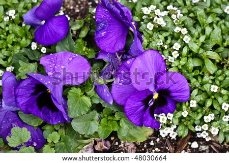 Viola with raindrops