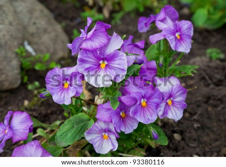 Violas or Pansies Closeup in a Garden - stock photo