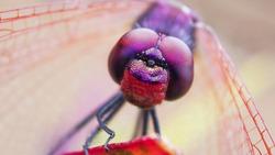 Violet African Dragonfly / Violet-marked Darter / Violet Dropwing
