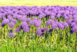 Violet allium Globemaster Giant sort Gladiator at flower plantation in Holland. Flower field with Ornamental onions, selective focus.