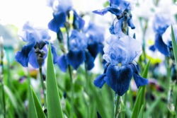 Violet and blue iris flowers closeup on green garden background. Sunny day. Lot of irises. Large cultivated flowerd of bearded iris (Iris germanica). Blue and violet iris flowers are growing in garden