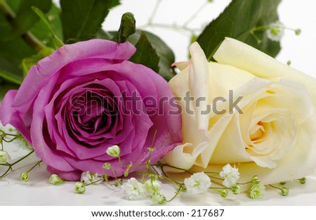 Violet and White Rose on White Background.