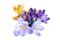 Violet and yellow flowers of crocus isolated