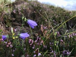 violet bellflowers in danish moorland