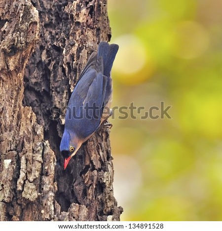 Violet bird, female Velvet-fronted Nuthatch (Sitta frontallis), standing on the dead tree