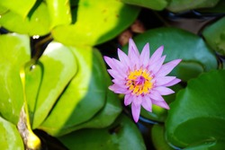 Violet blooming lotus flower middle big green leaves pad in the pond, top view beautiful water lily purple petals and yellow pollen, nature background environment concept