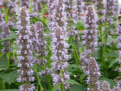 Violet-blue giant hyssop (Agastache) Blue Fortune blooms in a garden in August