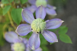 Violet-blue large-flowered double clematis Blue Light selected by the Dutch breeder Frans van Haasterd blooms in a garden in May 2009