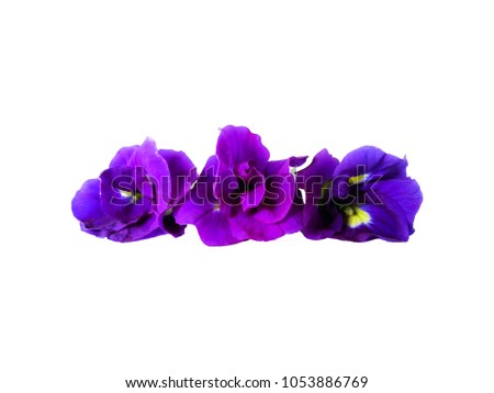 Violet Butterfly Pea Flower on white background. #1053886769