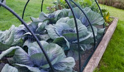 Violet cabbage plants in the veggie garden under netting mesh -  protection from pest without using pesticides.