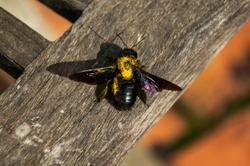 Violet carpenter bee sits on a wooden garden chair, large violet carpenter bee sits in the summer sun light, Xylocopa violacea