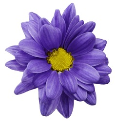 violet chrysanthemum flower isolated on white  background with clipping path.   Closeup.  no shadows.  For design.  Nature.