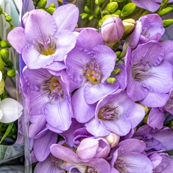 violet colored freesia flowers top view closeup, natural background