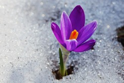 Violet crocus flower growing in the snow. Miracle of nature
