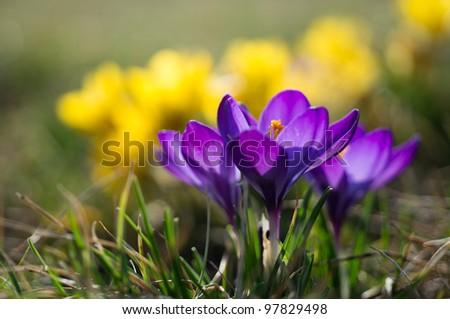 Violet crocus flower with yellow crocus as backgroud - stock photo