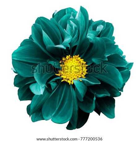Violet dahlia. Flower on a white  isolated background with clipping path.  For design.  Closeup.  Nature.