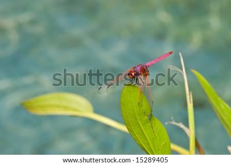 Violet darter dragonfly #15289405