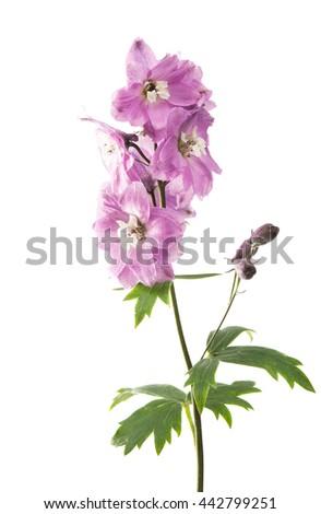 Violet delphinium flower isolated on white ez canvas violet delphinium flower isolated on white mightylinksfo