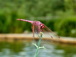 Violet dragonfly on a plant. Trithemis annulata.