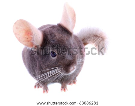 Violet ebonite with baby chinchilla on white  background. Isoltaed