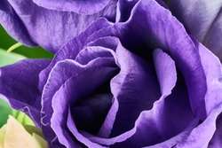 violet eustoma flowers close up macro shot