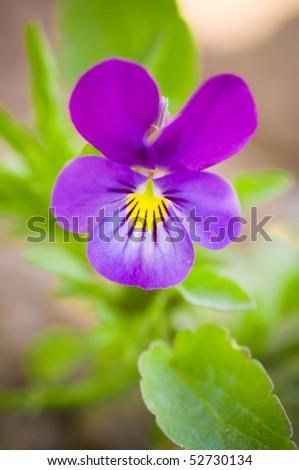 Violet flower against green background