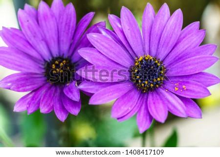 Violet flower, Macro of  Flower