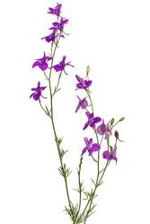 Violet flower of wild delphinium, larkspur flower, isolated on white background