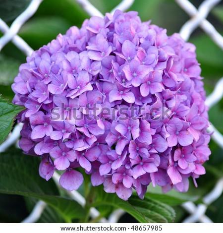 VƯỜN CÂY ĐV II - Page 14 Stock-photo-violet-flowers-of-hydrangea-hortensia-ajisai-plant-over-garden-fence-48657985