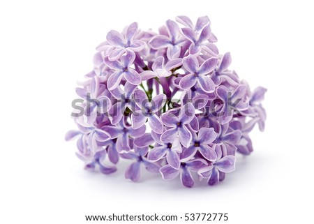 Violet Flower Picture on Violet Flowers Of Lilac Stock Photo 53772775   Shutterstock