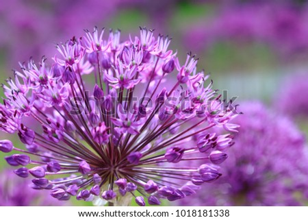 Violet flowers on a fancy purple background. Beauty purple texture and awesome floral composition. Close up of Persian onion. Best floral picture for covers, banners, posters and other projects.