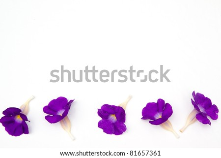 violet flowers on a white background