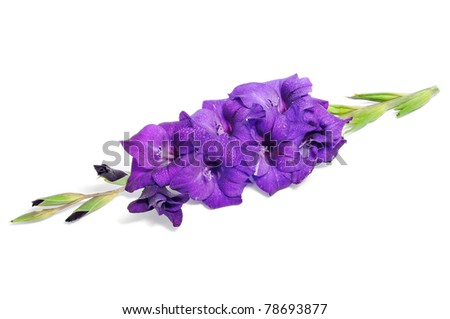 violet gladiolus on a white background - stock photo