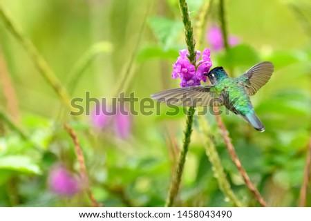 Violet-headed Hummingbird - Feeding on Nectar