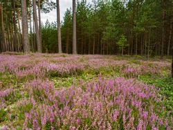 Violet heathers and pines in polish forest. Poland. Eastern Europe